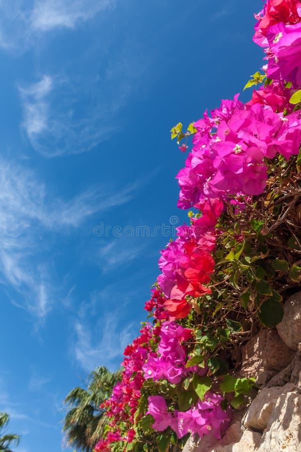 Buganvillea rosa, Sharm el Sheikh, Egitto immagine stock