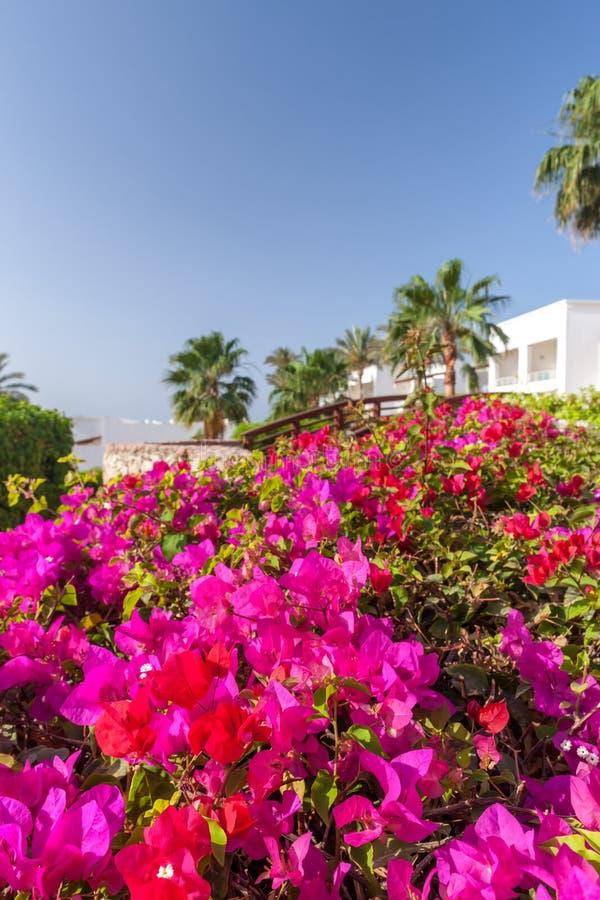 Buganvillea rosa, Sharm el Sheikh, Egitto fotografia stock libera da diritti