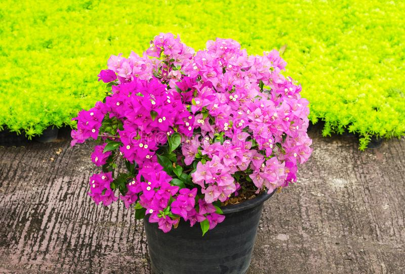 Download Buganvillea In Un Vaso Di Fiore Con Il Fondo Delle Foglie Verdi  Immagine Stock