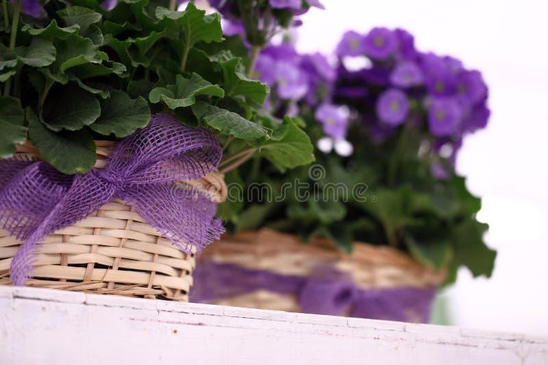 Bugar purpurfärgade blommor för primula i vide- korg med bandet fotografering för bildbyråer