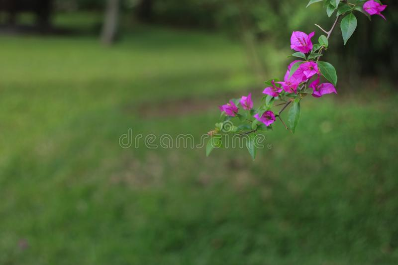 Bugenvil flower in the garden. Beautiful bugenvil flower in the garden stock image