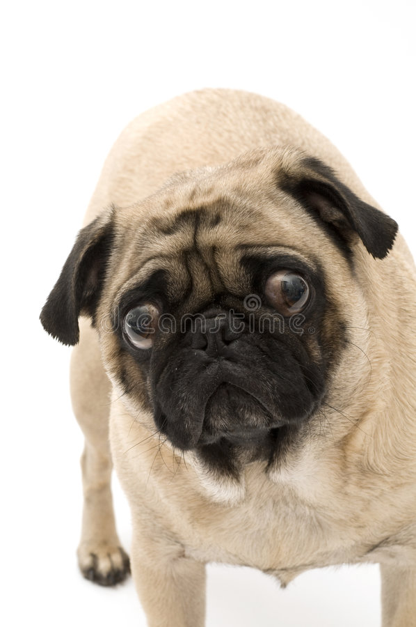 Bugged Eye Pugs royalty free stock photos