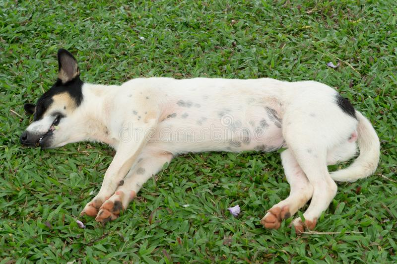 Bugia dei cani su erba immagini stock