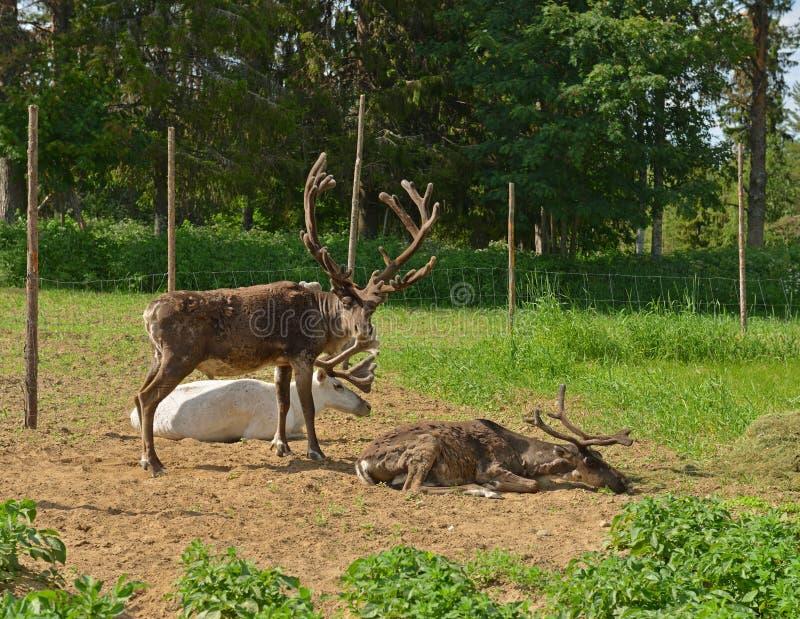 Bugia di tarandus del Rangifer delle renne sul giacimento della patata lapland Suomi fotografia stock