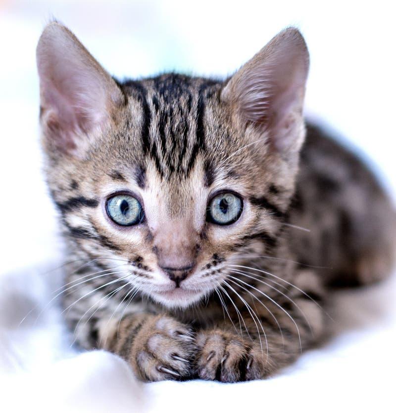 Bugie del gattino del Bengala fotografie stock libere da diritti