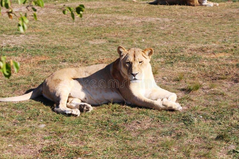 Bugie e resti della leonessa sulla terra fotografia stock