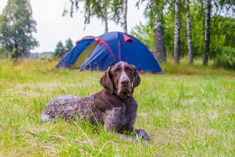 Bugie e tenda del campo del cane fotografia stock