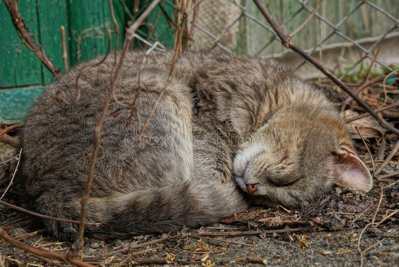 Bugie grige e sonni grandi di un gatto sulla terra fra i rami alla parete verde fotografie stock