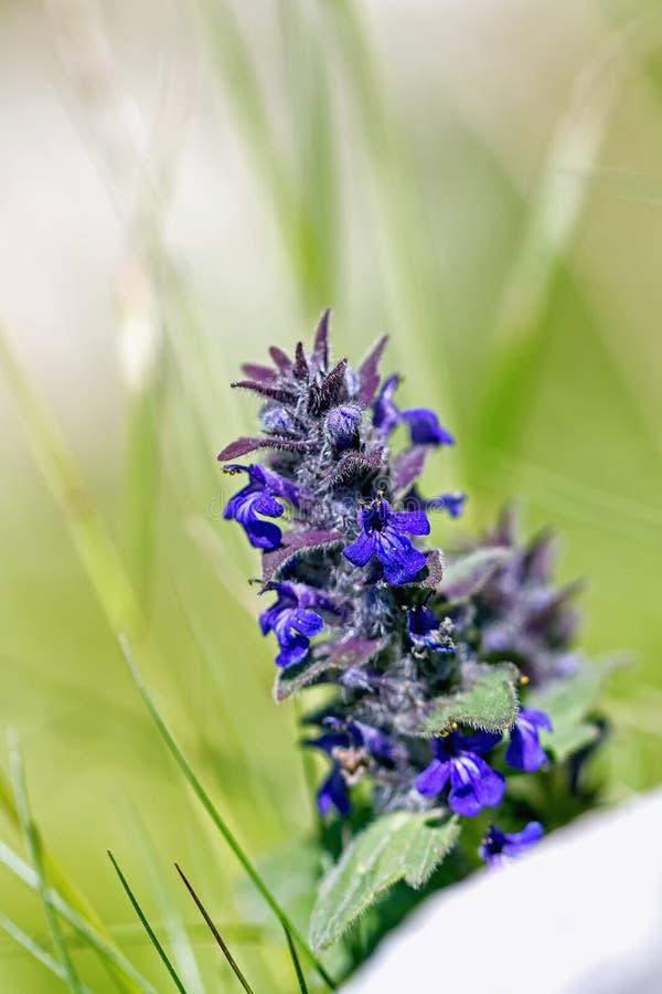 Bugle vertical, bugle azul, Bugleweed de Ginebra, Bugleweed azul (genevensis del Ajuga) foto de archivo