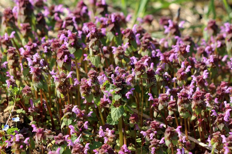 Bugleweed or Ajuga densely planted small herbaceous flowering plants with pink flowers and dark green leathery leaves growing in. Bugleweed or Ajuga or Ground stock images