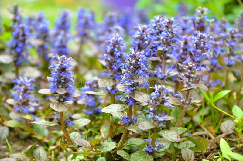 Bugleweeds azules florecientes - Ajuga en el prado del verano foto de archivo libre de regalías
