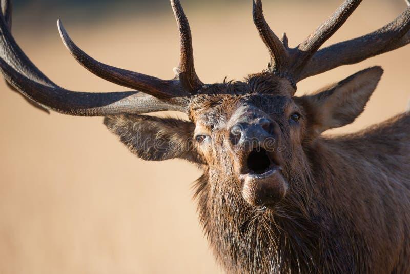 bugling关闭的公牛麋 图库摄影