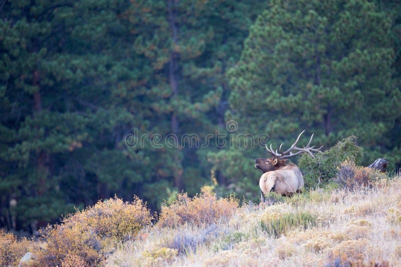 bugling的公牛麋的风景照片 库存图片