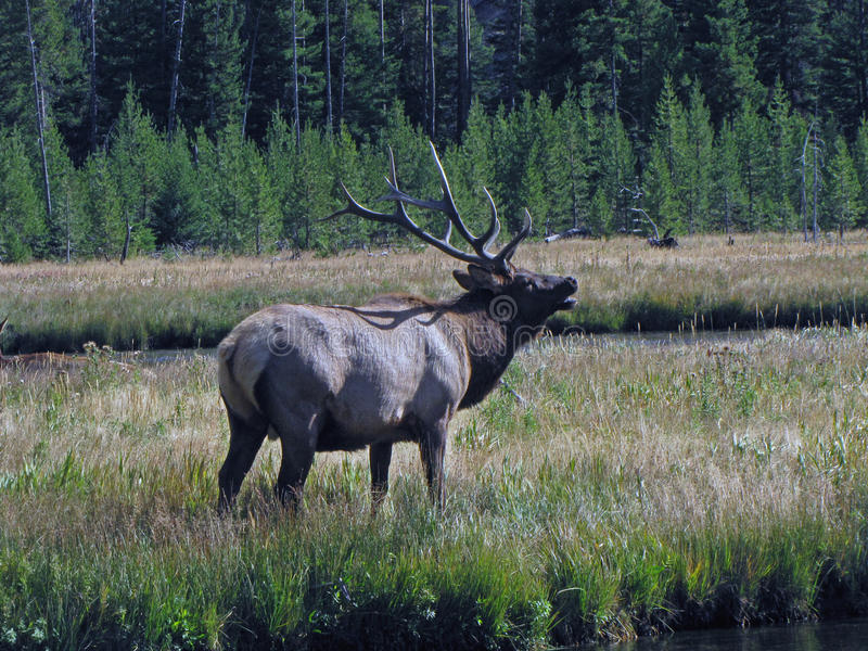 Bugling Bull Elk royalty free stock photography