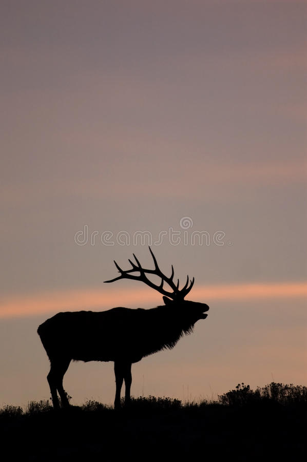 Free Bugling Elk In Yellowstone National Park, Wyoming. Royalty Free Stock Photos - 14787938