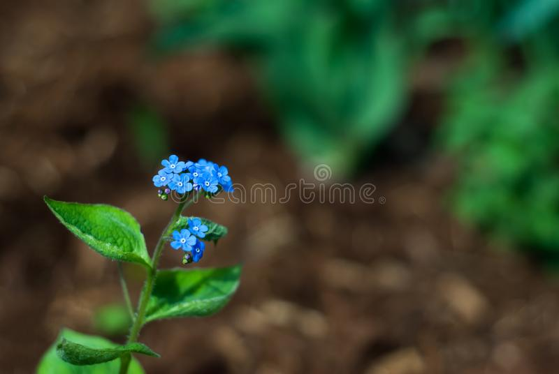 Bugloss Blooms. Tiny, blue bugloss flowers bloom in a garden bed in springtime royalty free stock photo