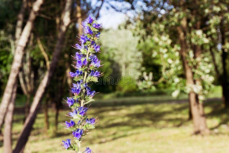 Bugloss för huggorm` s/blueweed-/EchiumVulgare växt med suddig bakgrund fotografering för bildbyråer