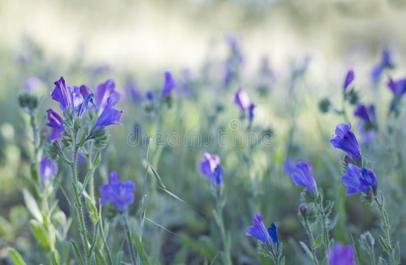 Bugloss roxo das víboras fotografia de stock