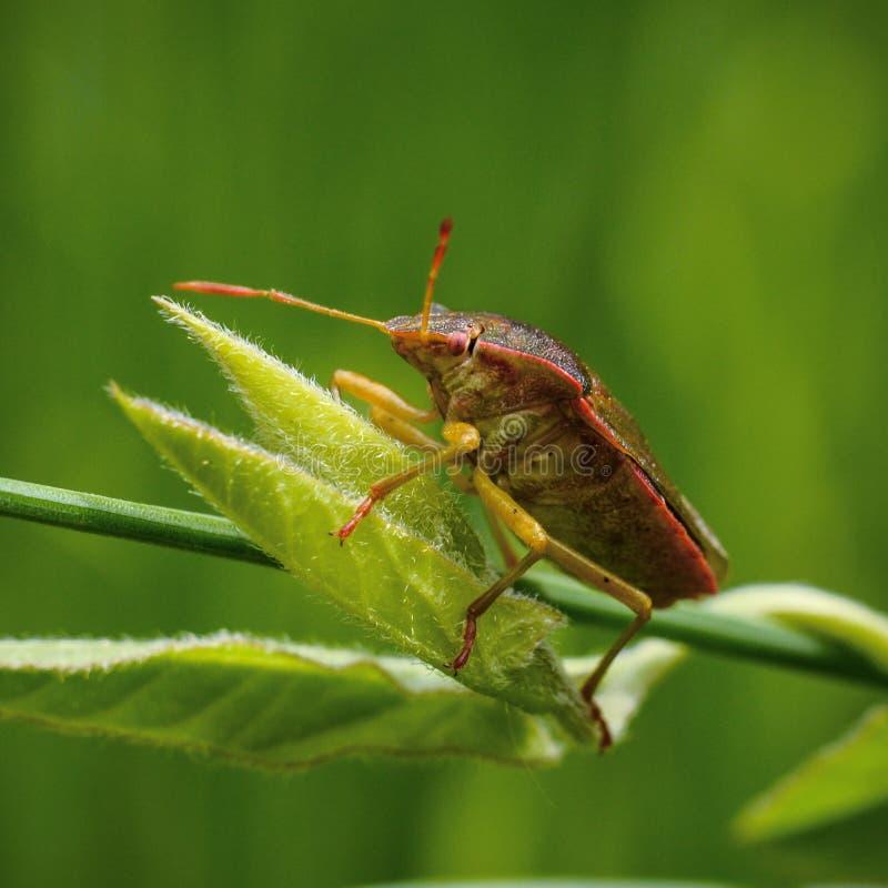 Bugman arkivfoto