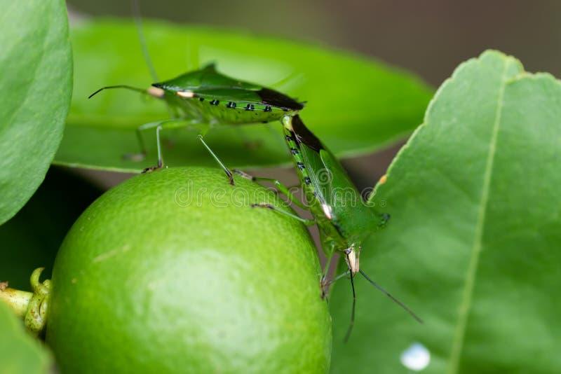 Bugs Apestosos fotos de archivo