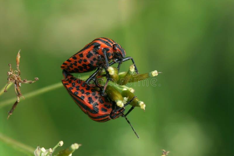 Bugs copulation royalty free stock photo