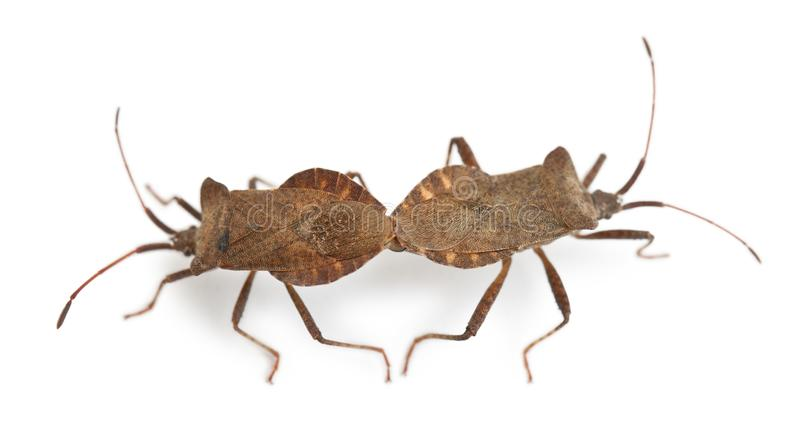 bugs ihopparning för coreusdockmarginatus arkivbilder