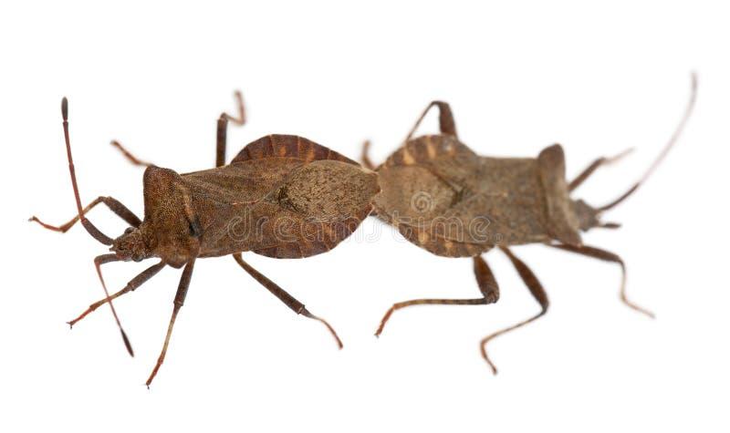 bugs ihopparning för coreusdockmarginatus royaltyfria bilder