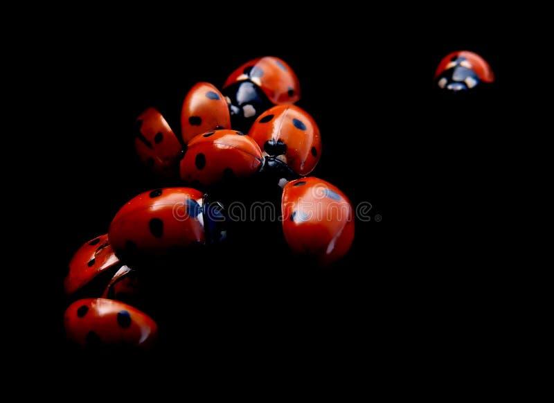 bugs ladyen arkivfoton