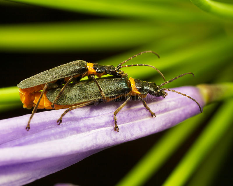 Bugs Mating Stock Images