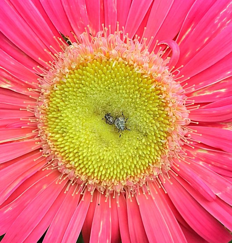 Bugs resting on pink and gerber daisy royalty free stock image