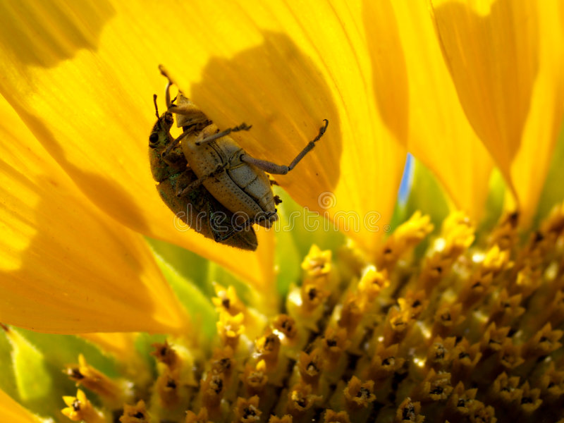 Bugs and Sun Flower royalty free stock image