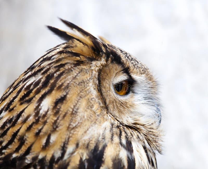 Buho de águila imagenes de archivo