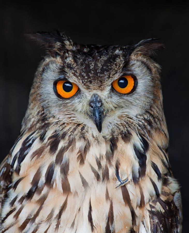 Buho de águila fotografía de archivo