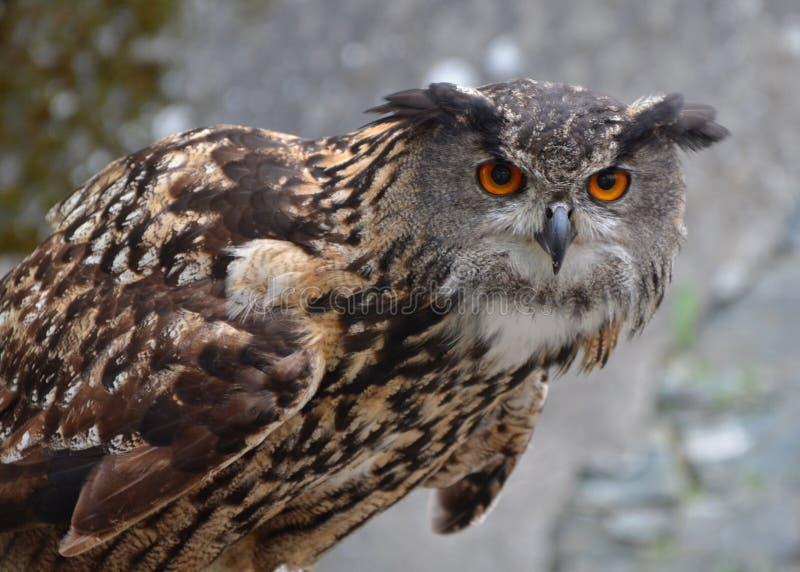 Buho de águila eurasiático (bubón del bubón) fotografía de archivo libre de regalías