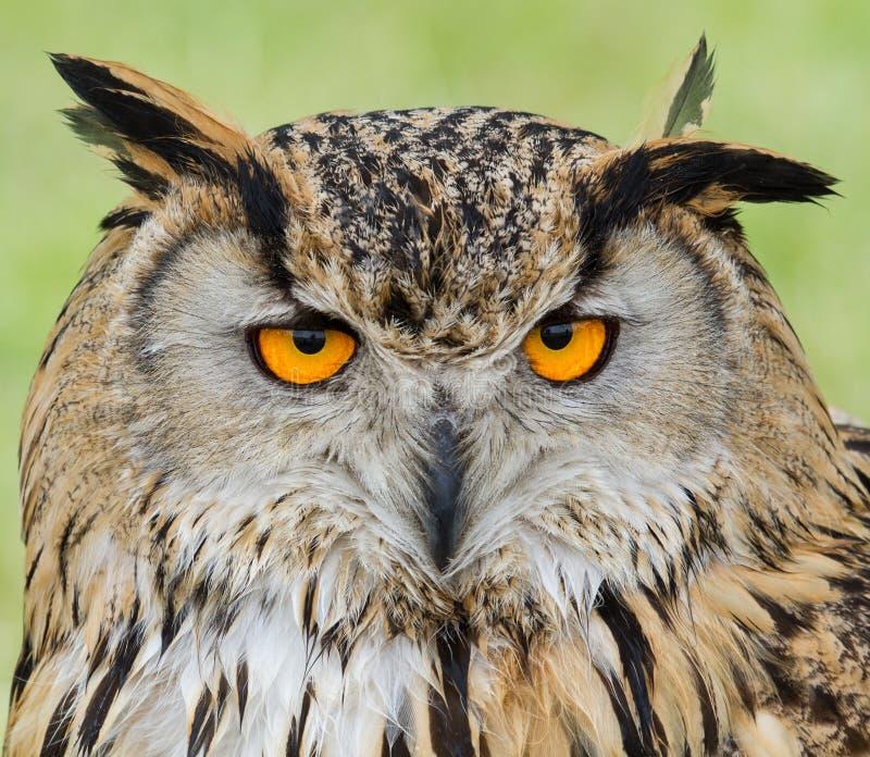 Buho de águila europeo fotografía de archivo