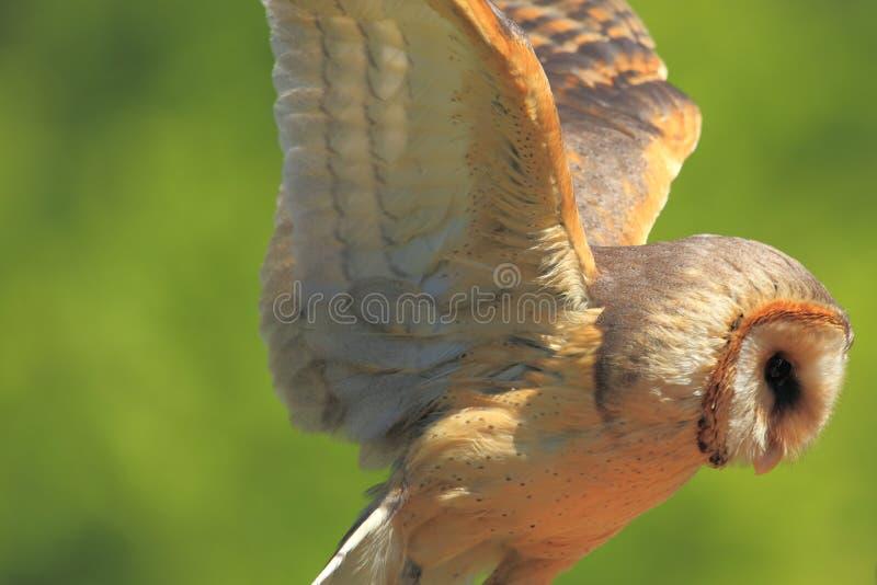 Buho de granero del vuelo fotos de archivo
