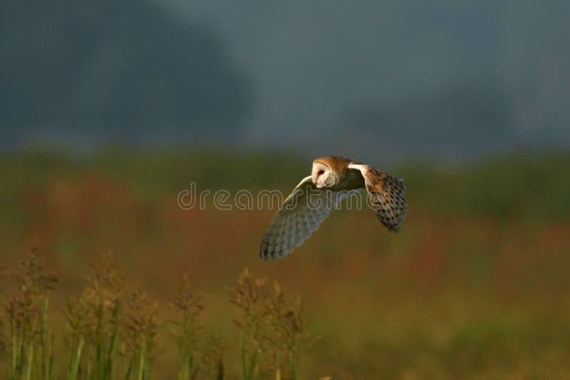 Buho de granero - Tyto alba foto de archivo libre de regalías