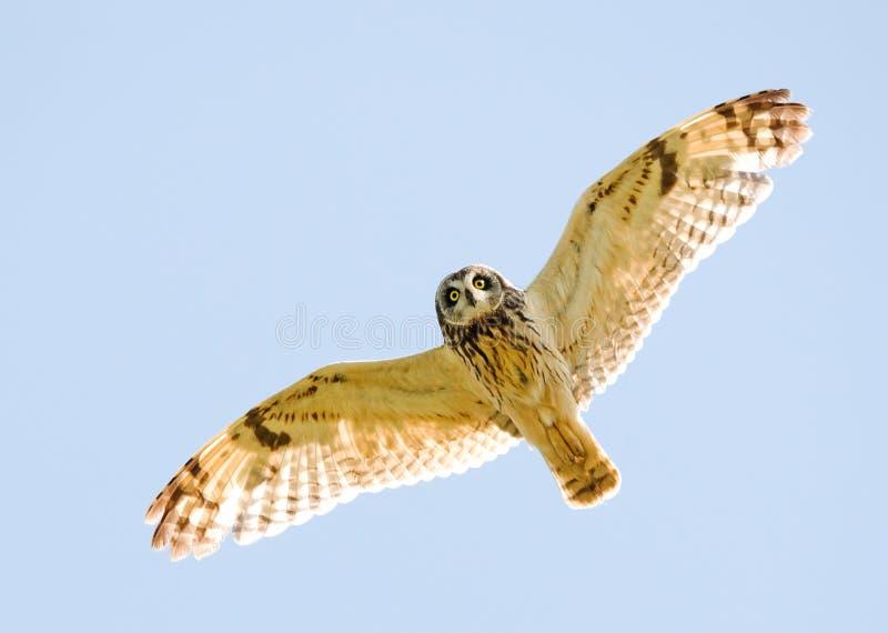 Buho de la caza en vuelo imagen de archivo