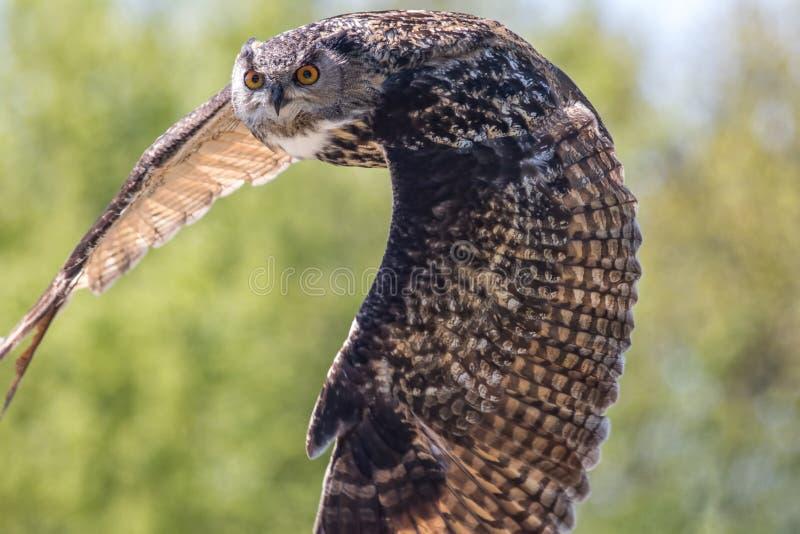 Buho en vuelo Vuelo del pájaro del búho de Eagle del europeo Fauna del país fotos de archivo libres de regalías