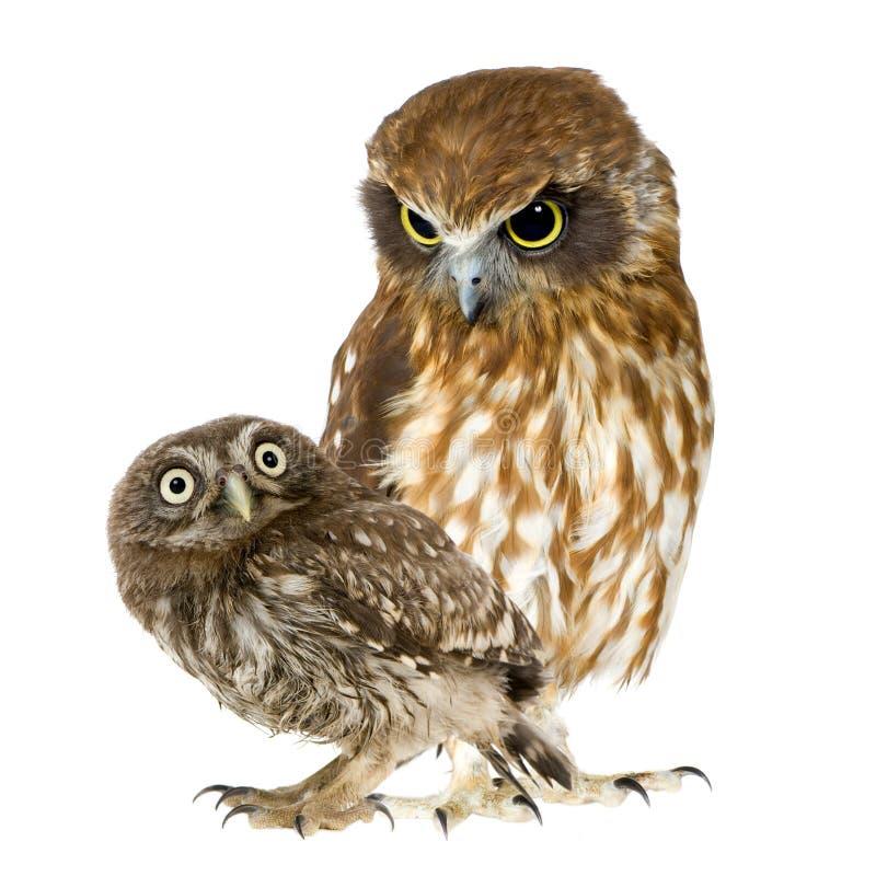 Buho femenino y un owlet fotos de archivo