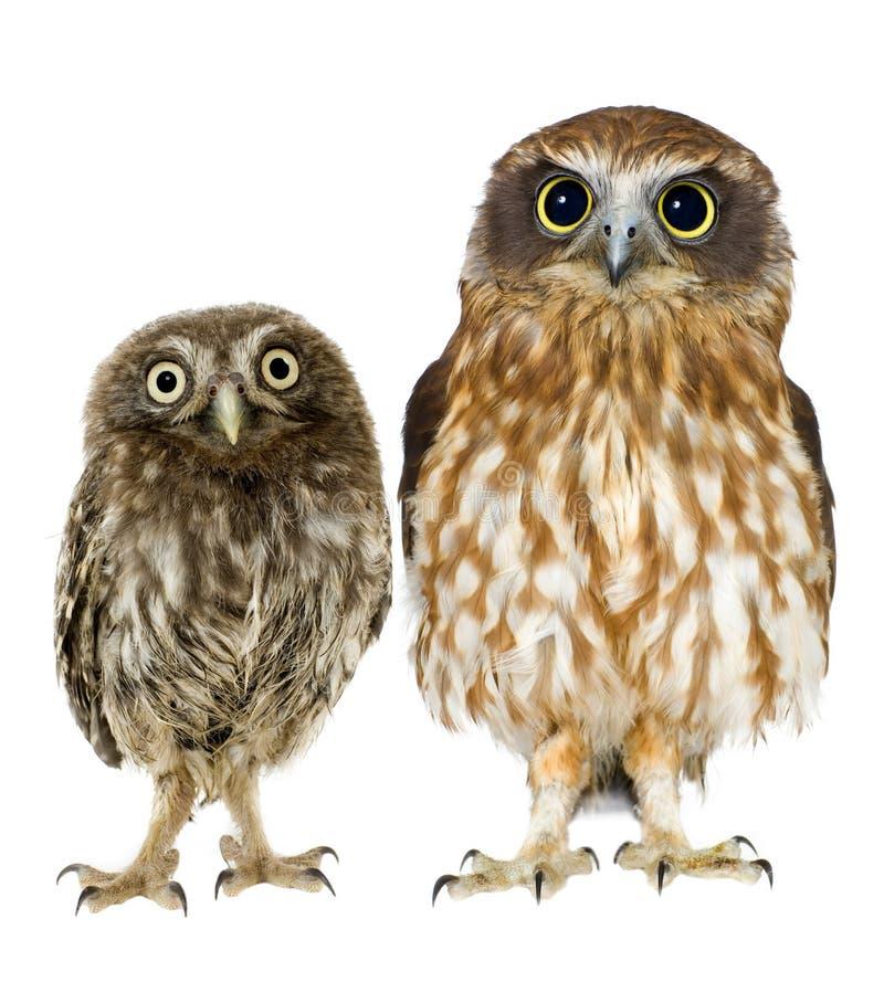 Buho femenino y un owlet fotografía de archivo