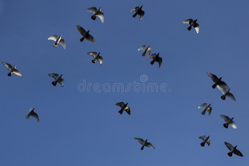 Buikmening van troep van binnenlandse duiven die in vorming vliegen stock afbeelding