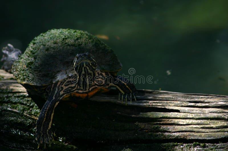 Download Buil op een logboek stock foto. Afbeelding bestaande uit water - 31156
