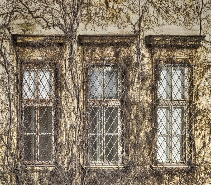 Building covered with dry ivy royalty free stock images