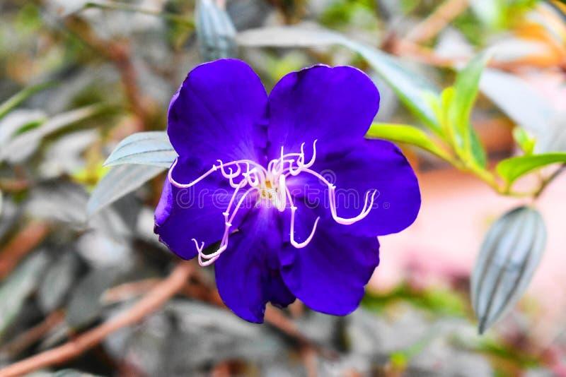 Buisson brésilien de fleur, de gloire d'araignée ou C.C de Tibouchinaurvilleana Cogn, dans le MELASTOMATACEAE de généalogie photographie stock