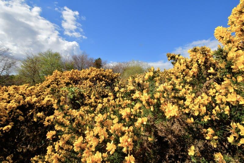 Buisson citrin d'épine avec la fleur jaune dans le paysage des montagnes de l'Ecosse photo libre de droits