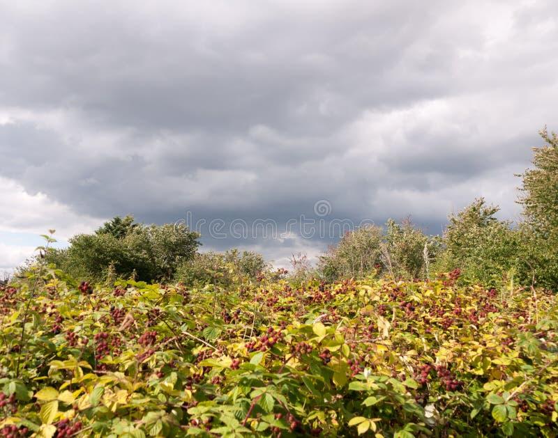 Buisson croissant rouge de murier sauvage au-dessous de ciel nuageux images libres de droits