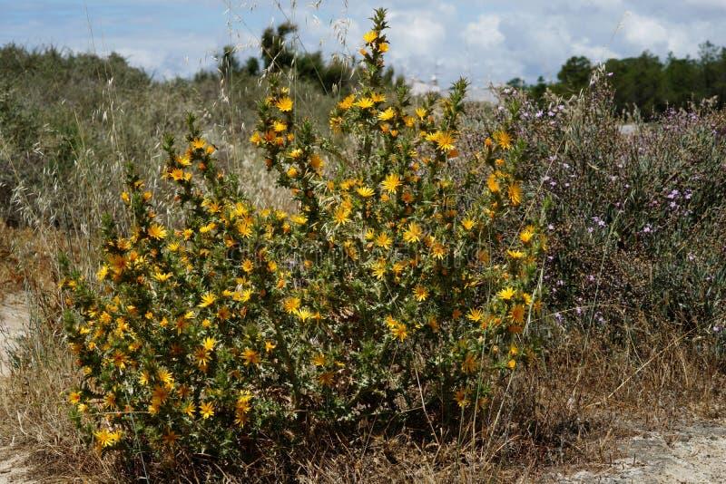 Buisson d'épine avec la fleur jaune photo libre de droits