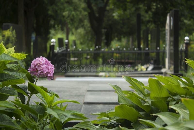 Buisson d'hortensia sur le vieux cimetière près de la cour grave au printemps image stock