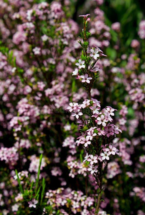 Buisson de confettis, buchu, diosam, souffle de ciel image libre de droits